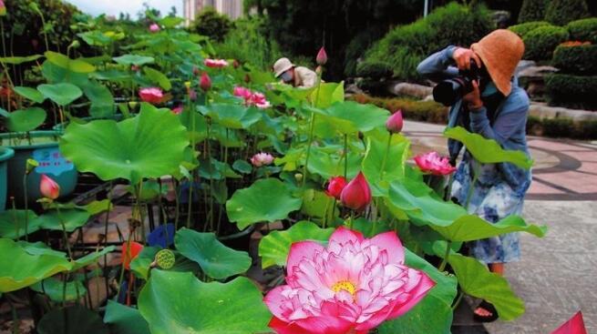 南宁第二届竹荷文化节开幕 800多盆荷花盆栽精彩亮相